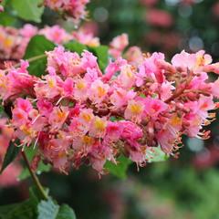 А просто розовый каштан цветет!