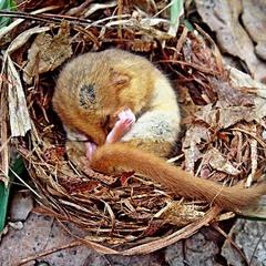 спящая мышка(соня орешниковая)