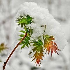 снежные листья
