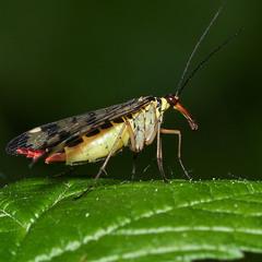 Скорпионовая муха
