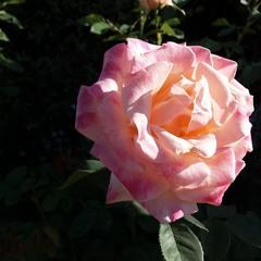 Утренняя роза.