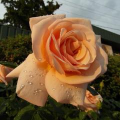 Вечерняя роза.