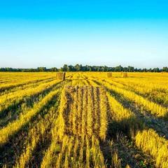 Ой чиє ж то жито, чиї ж то покоси?