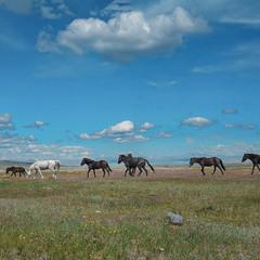 Степь ... Табун полудиких лошадей .....