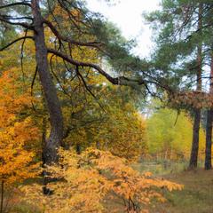 Осень сосны