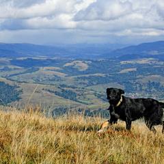 Собака горная