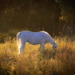 Лошадь золотого вечера