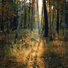 Утренний луч леса