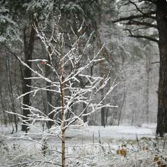 Белое деревце