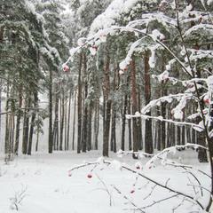 Зима рябинки