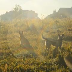 Утренние собачки