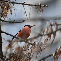 Красногрудый