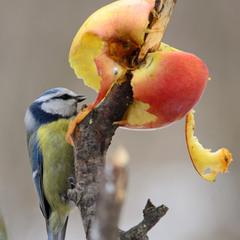 Лазоревка предпочитает яблочко