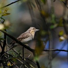 Интересная птичка вертишейка