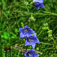 Квіти крпатських луків