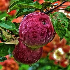 Яблука під дощем