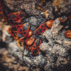 Несподівані гості - Червоноклоп Pyrrhocoris apterus