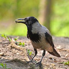 Пані ворона