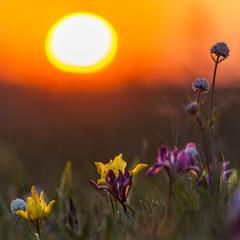 Закатні квіти