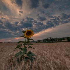 Час соняшників