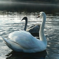 nature gives an interesting beauty and charm of white swans