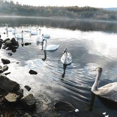 купання тринадцятьох лебедів на озері