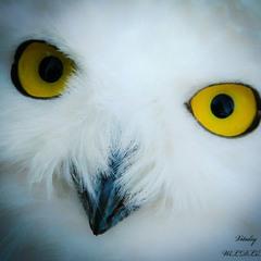 Дика красота білої полярної Сови