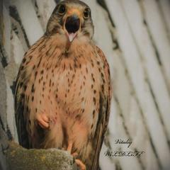 цікавий птах боривітер звичайний