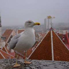 Таллин. Хозяйка старого города