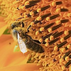 Золота пора бджоли