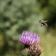 Диптих Бджола і розторопша. Фото 1 - Долетіла