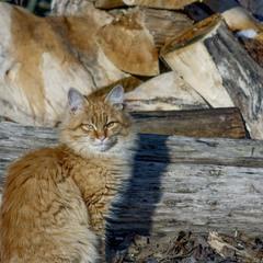 Кленовий кіт