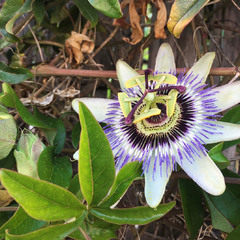 Passiflora franciscoi