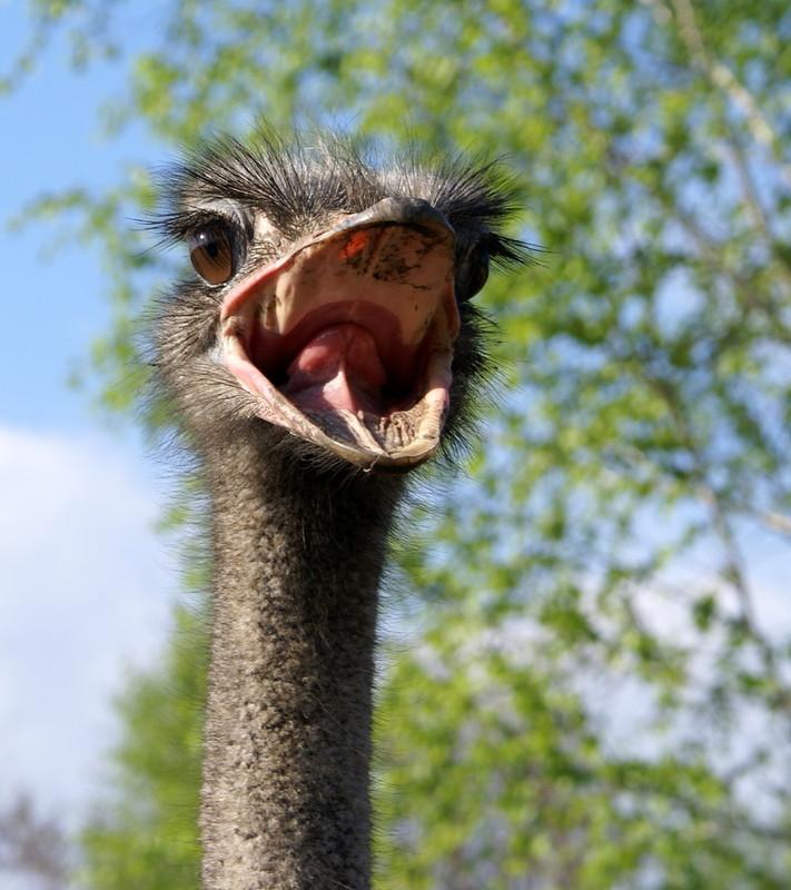 Фото страуса крупным планом буду