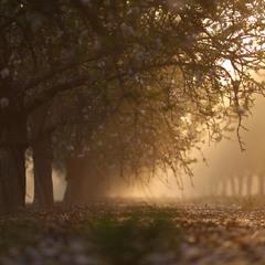 Almond sunrise
