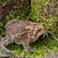 Американская жаба (лат. Anaxyrus americanus)