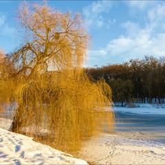 Зимняя ива