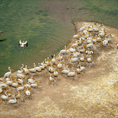 # Пеликаны выводят потомство #