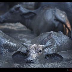 # Водяные буйволы острова Лангкави #