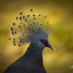 # Венценосный голубь #