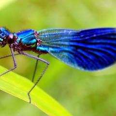 Семейство Красотки — Calopterygidae
