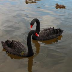 """""""Чёрны лебеди на пруду"""""""