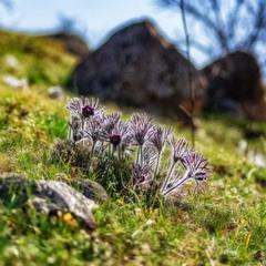 Сон-трава на склоне