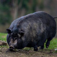 Приключение вьетнамской свинки в Карпатских Горах :)