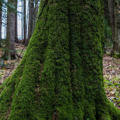 В прекрасной мховой Шубе стало Дерево в Лесу