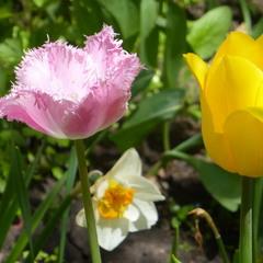 Розовый и жёлтый тюльпан