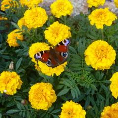 Бабочка на жёлтых чернобривцах