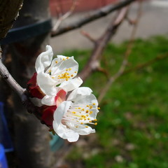 Цветёт абрикос