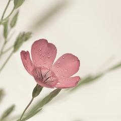 ти квітка...