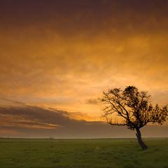 Дерево пастуха